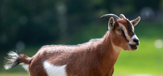 goat_featured